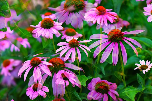 echinacea - article-marketing.net